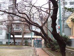 (3)校庭の老桜(もうすぐ咲きます)