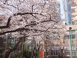 (1)桜満開(背後ビルは東京ミッドタウン)