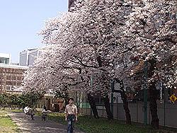 (2) 桜の下でお弁当