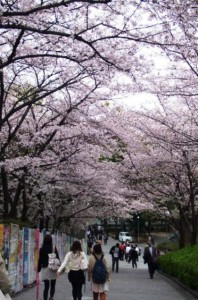 関西大学も桜トンネル