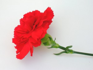 red-carnation-1541467